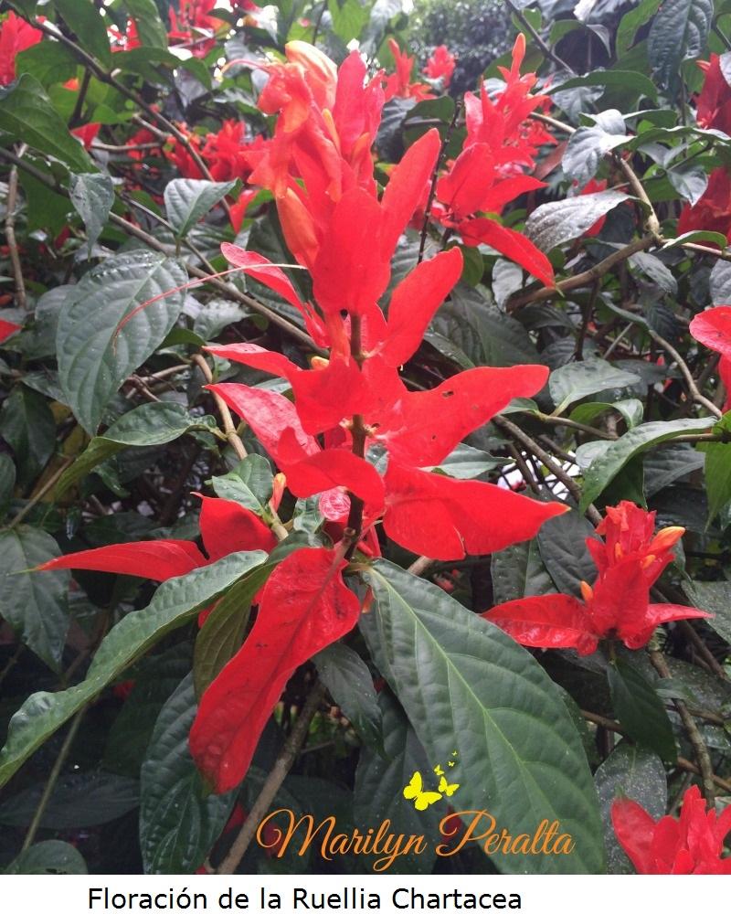 Floración de la Ruellia Chartacea