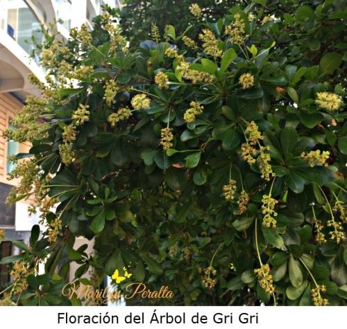 Floración del Árbol de Gri Gri