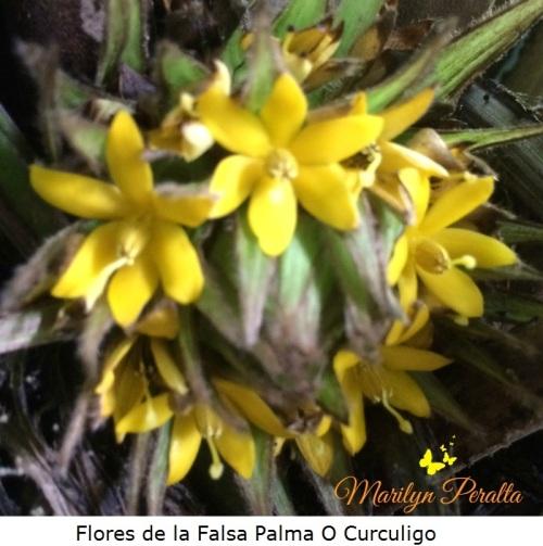 Flores de la Falsa Palma O Curculigo
