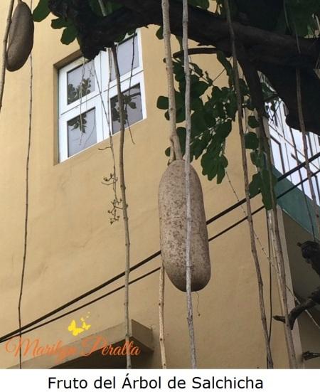 Fruto del Árbol de Salchicha