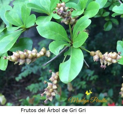 Frutos del arbol de Gri Gri