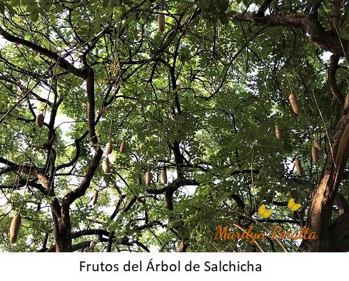 Frutos del Arbol de Salchicha