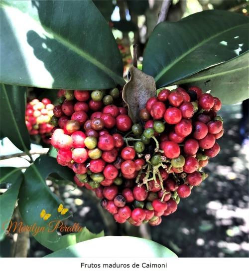Frutos maduros de Caimoni