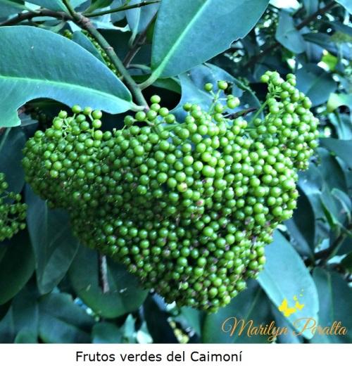 Frutos verdes del Caimoní