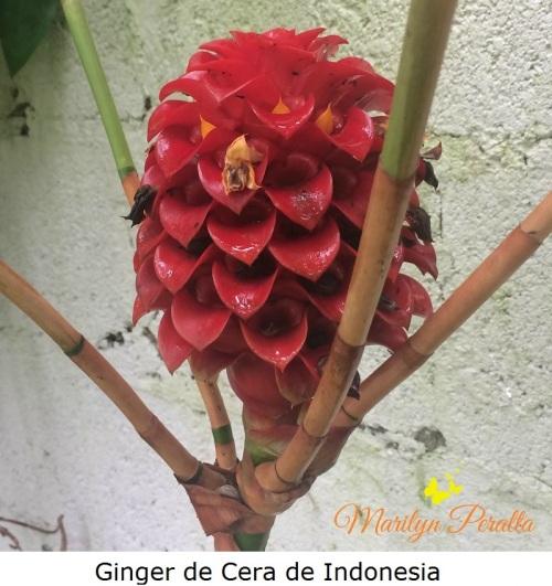 Ginger de Cera de Indonesia