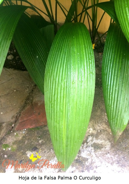 Hoja de la Falsa Palma o Curculigo