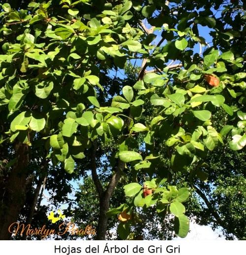 Hojas del árbol de Gri Gri A