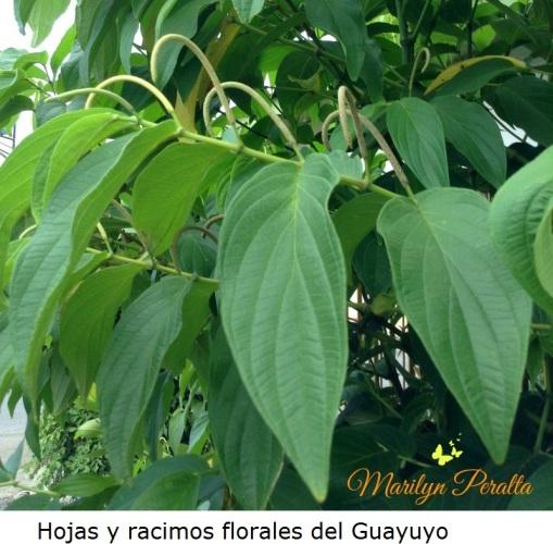 Hojas y racimos florales del Guayuyo