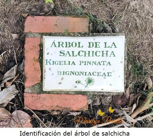 Identificacion del arbol de salchicha