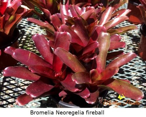 Neoregelia fireball
