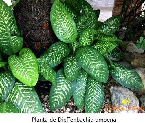 Planta de Dieffenbacchia amoena