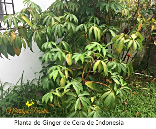 Planta de Ginger de Cera de Indonesia