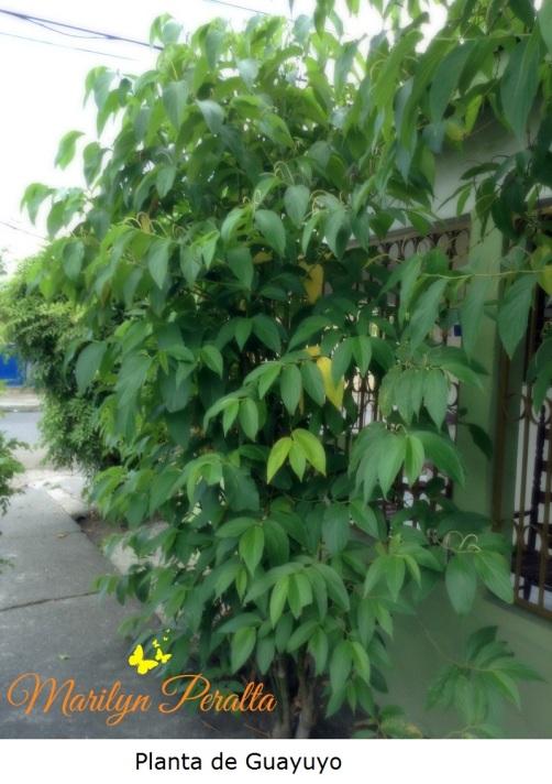 Planta de Guayuyo