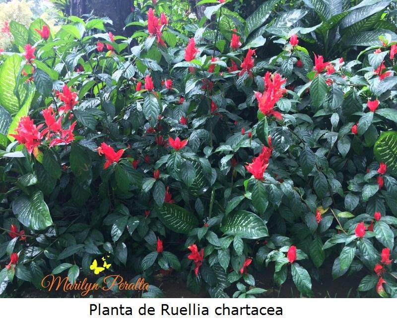 Planta de Ruellia Chartacea
