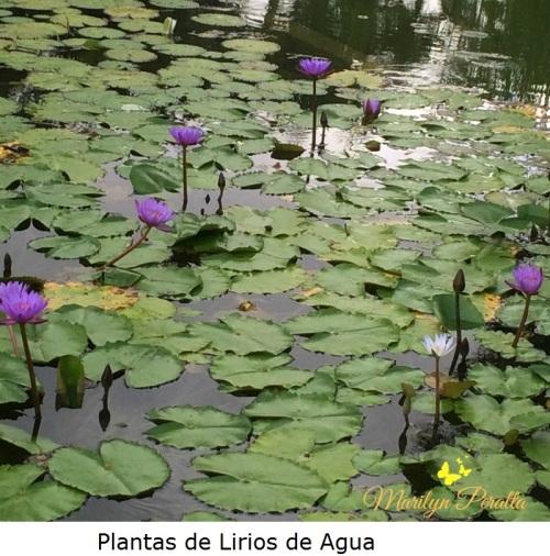 Plantas de Lirio de Agua A