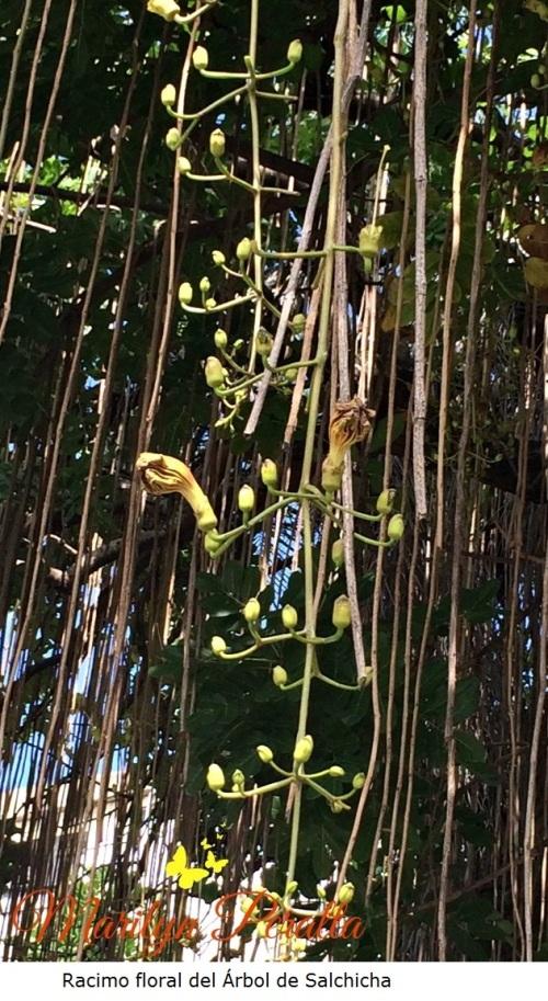 Racimo floral del Árbol de Salchicha