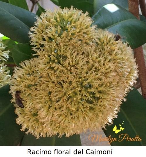 Racimo floral del Caimoní