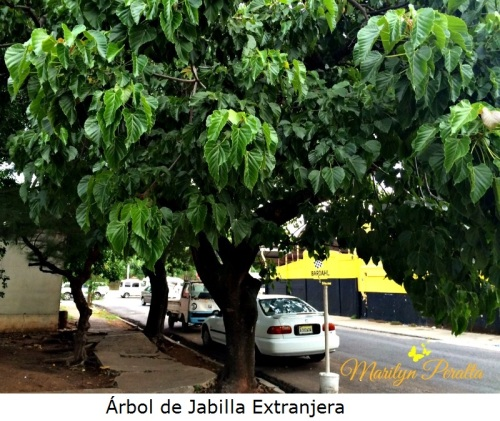 Arbol de Jabilla Extranjera