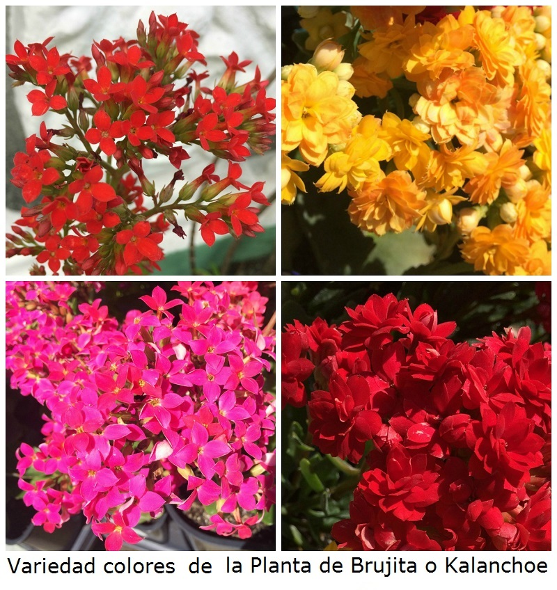 Colores de Brujita o Kalanchoe