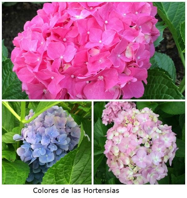 Colores de Hortensias
