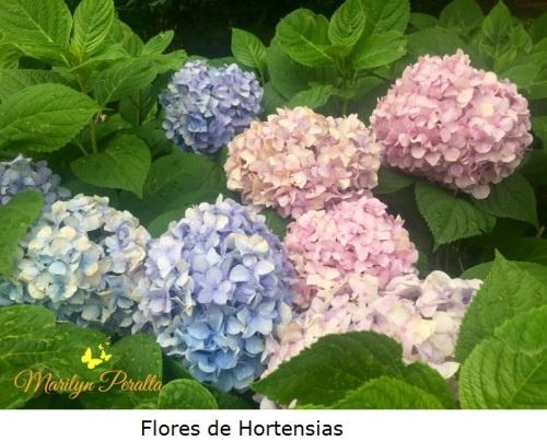 Flores de Hortensias