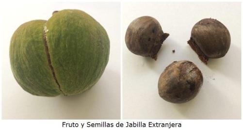 Fruto y semillas de Jabilla Extranjera