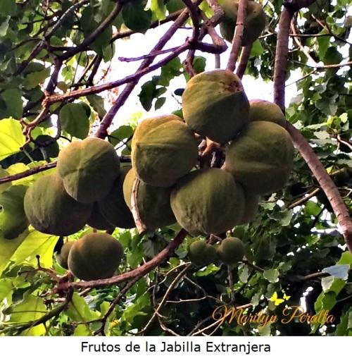 Frutos de la Jabilla Extranjera