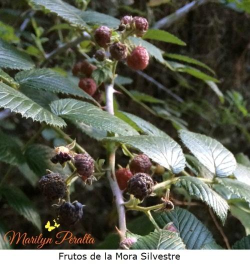 Frutos de la Mora Silvestre