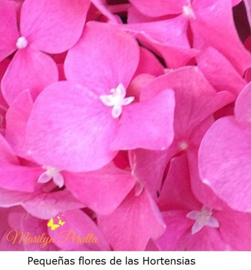Pequeñas flores de las Hortensias