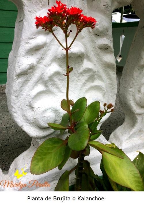 Planta de Brujita o Kalanchoe