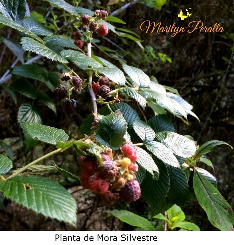Planta de Mora Silvestre