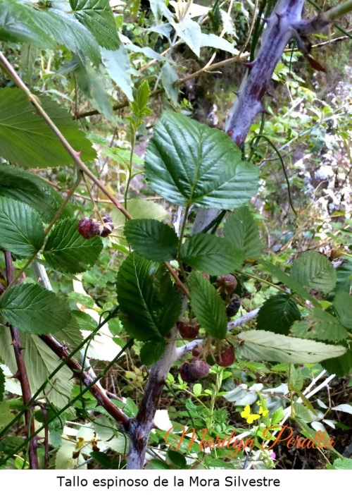 Tallo espinoso de la Mora Silvestre