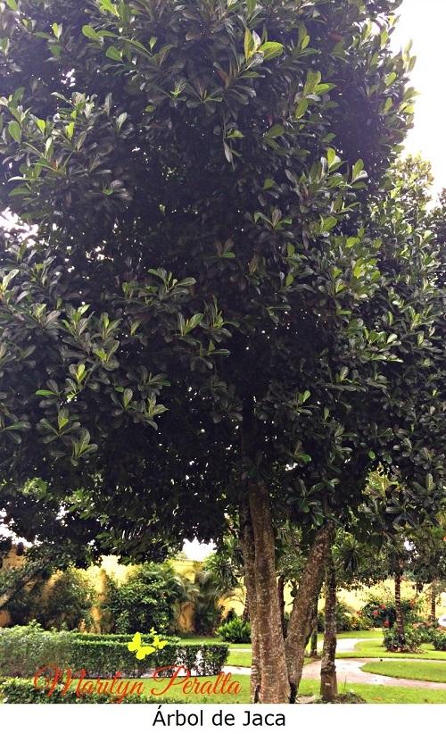 Árbol de Jaca
