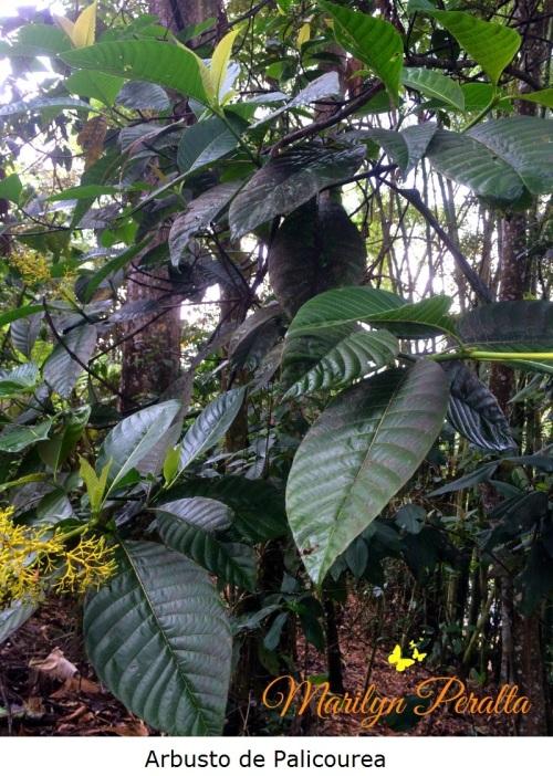 Arbusto de Palicourea