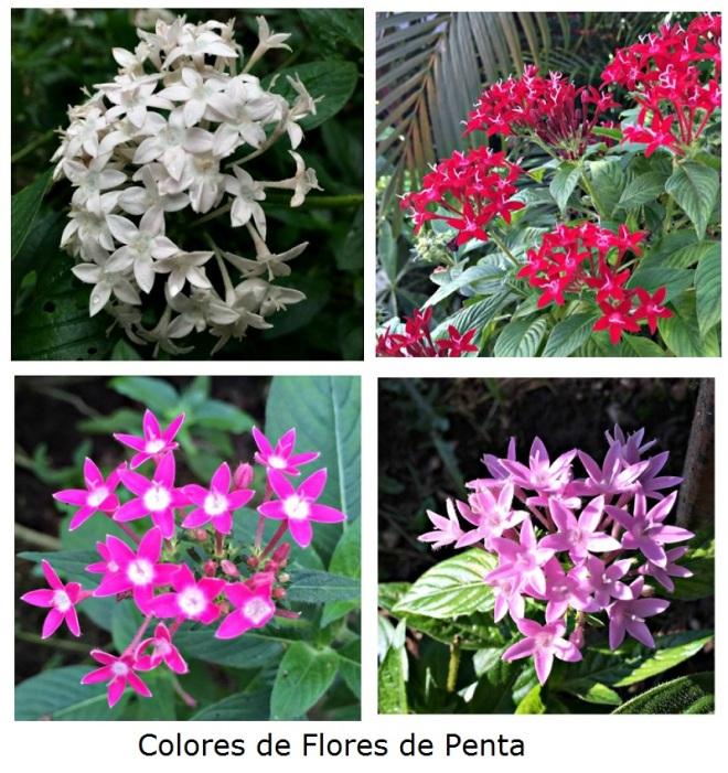 Colores de Flores de Pentas