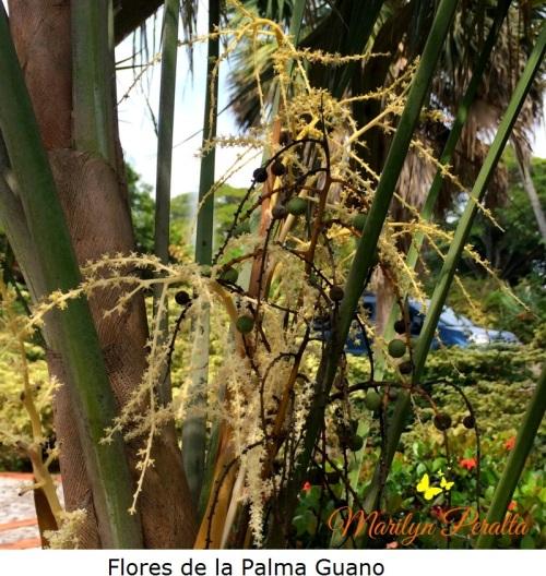 Flores de la Palma Guano