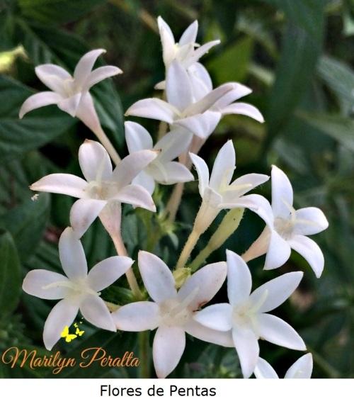 Flores de Pentas
