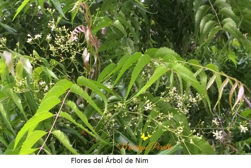 Flores del Arbol de Nim