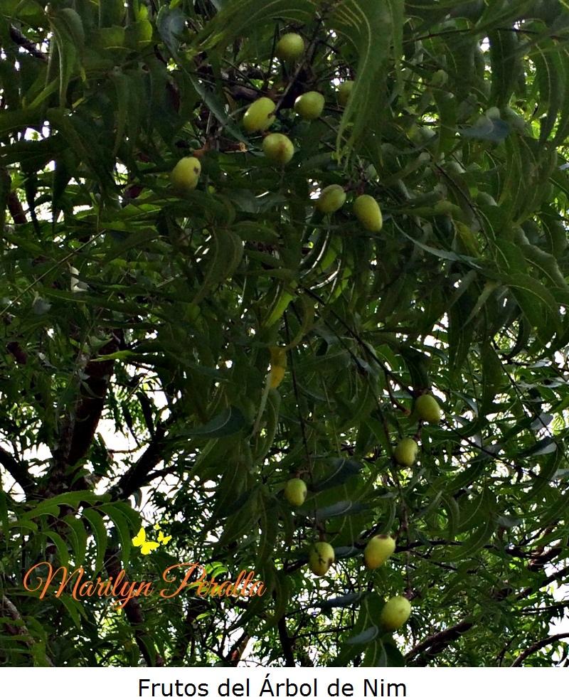 Frutos del Arbol de Nim