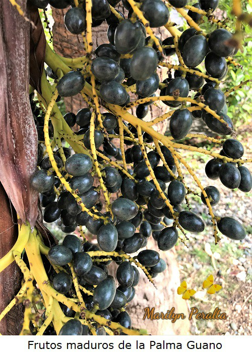 Frutos maduros Palma Guano