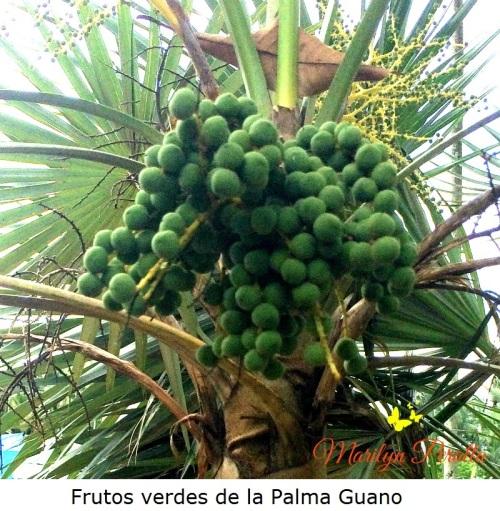 Frutos verdes de la Palma Guano