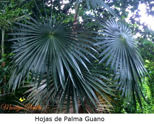 Hojas de Palma Guano
