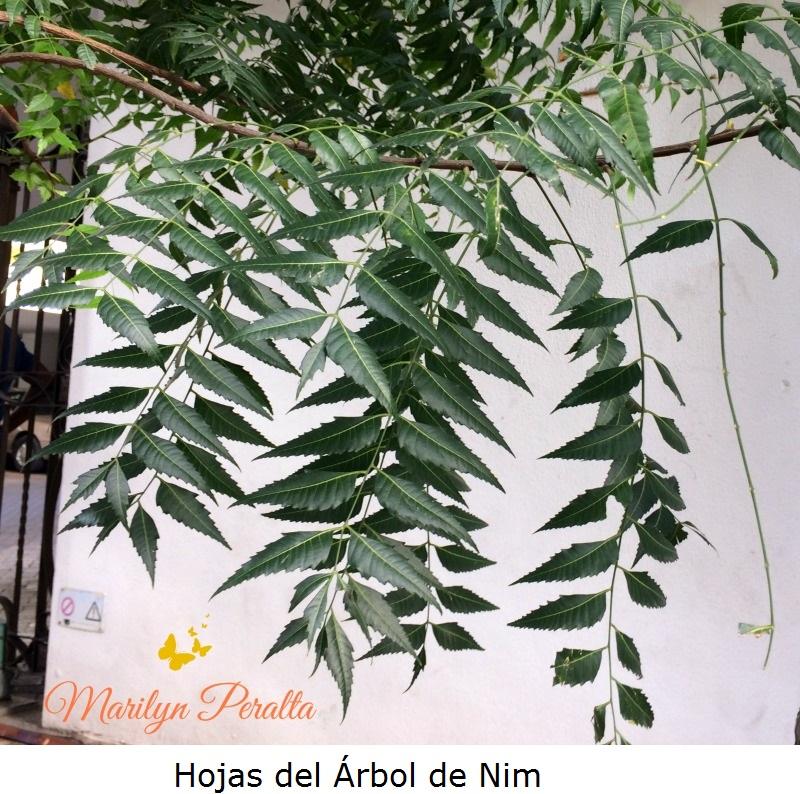 Hojas del Arbol de Nim