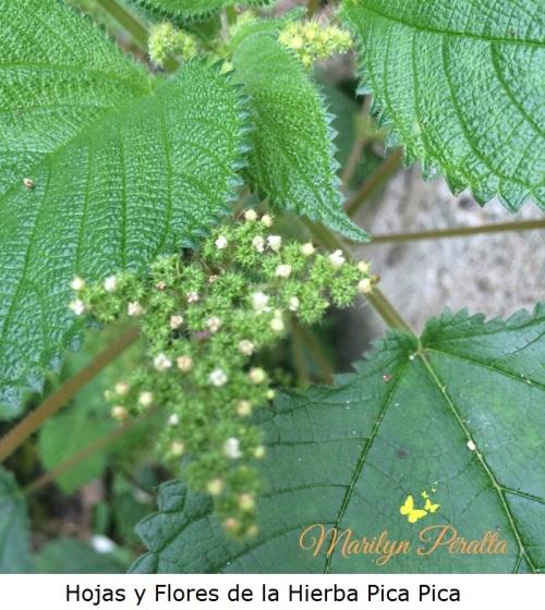 Hojas y flores de la Hierba Pica Pica