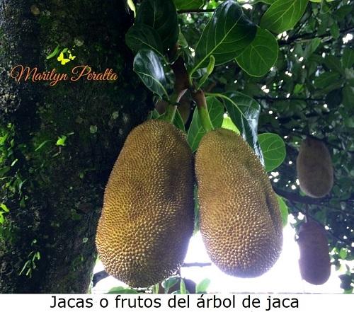 Jacas o Frutos del Árbol de Jaca