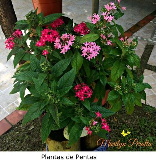 Plantas de Pentas