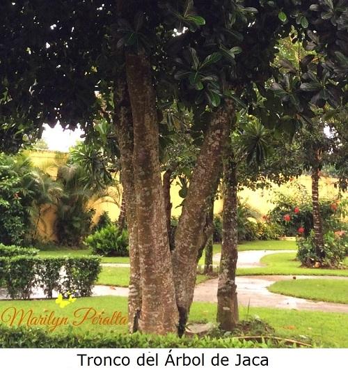 Tronco del Árbol de Jaca