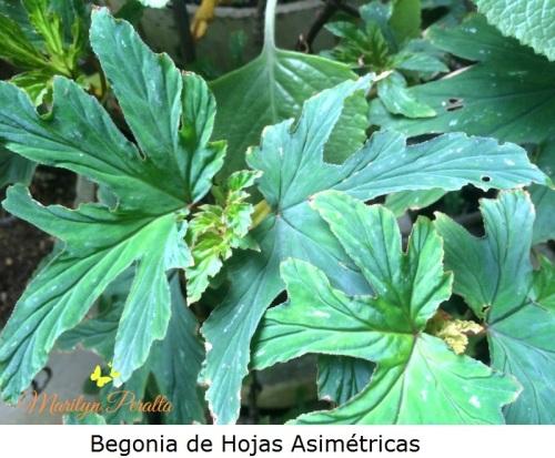 Begonia de hojas asimétricas