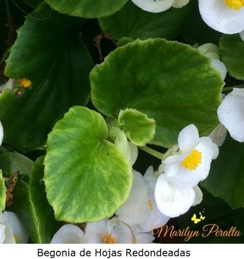 Begonia de Hojas Redondeadas