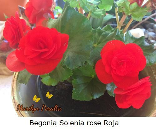 Begonia Solenia rose Roja